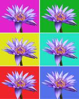 Water Lily x6