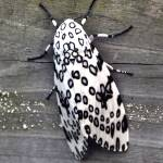 """""""Leopard Moth"""" by RTMacGowan"""