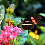 """Heliconius erato (Small Postman Butterfly)"" by RTMacGowan"