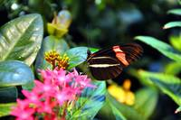 Heliconius erato (Small Postman Butterfly)