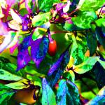 """Purple Chilli Pepper Plant"" by RTMacGowan"