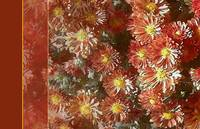 Close up of Falling for Mums