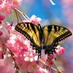 """swallowtail butterfly and cherry blossoms"" by tricia"
