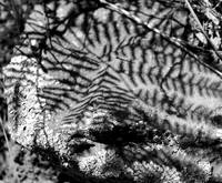 Abstract Ferns in Grayscale