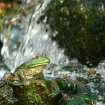 """Frog on waterfall"" by themuppet"