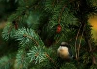 Pygmy Nuthatch in Spruce
