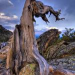 """Trail Ridge Limber Pine"" by JimDockery"