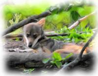 Red Wolf Resting