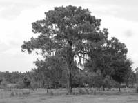 spanish oak myakka florida
