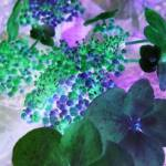 """""""inverted hydrangea"""" by clickdecourcyNI"""