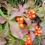 """""""Pretty Alaska Berries"""" by wolcott"""