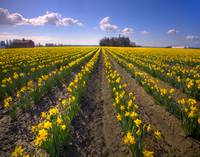 33_DaffodilRows_SkagitValley_WA