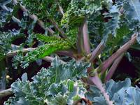 russian kale upclose