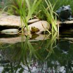 """""""Reflecting on Frogs"""" by Artlife"""