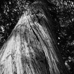 """Ancient Forest Tree (B&W)"" by dmarshall"