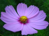 Pink Cosmo, Yellow Centered