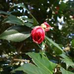 """Roanoke Island - Elizabethan Gardens"" by kasiahein"