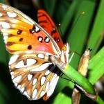 """""""Painted lady butterfly"""" by rbb2676"""