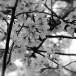 """Black and White Cherry Blossoms"" by DCPaulson"