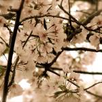 """Antique Cherry Blossoms"" by DCPaulson"