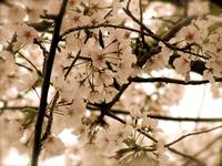 Antique Cherry Blossoms