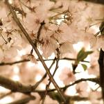 """Antique Cherry Blossoms 2"" by DCPaulson"