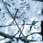 """Cherry Blossoms Blue 2"" by DCPaulson"