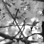 """Black and White Cherry Blossoms 2"" by DCPaulson"