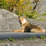 """Sunning Coyote"" by rdwittle"