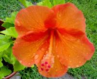 Orange With Raindrops