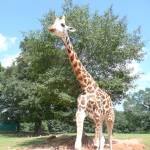 """Graceful Giraffe 02"" by photographybydonna"