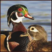 Mr & Mrs 'Wood Duck'