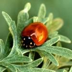 """""""Ladybug"""" by MindsEyeImagery"""