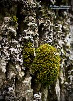 Little Green Lichen