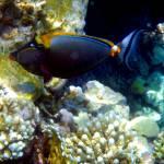 """""""orangespined unicornfish"""" by phototes"""