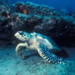 """Hawksbill Turtle"" by jdduff"