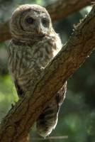 Barred Owl hunting for mice