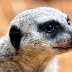 """Portrait of a Suricate #2"" by EmperorNorton47"