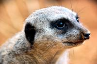Portrait of a Suricate #2