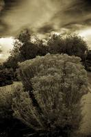 Shrub in Sepia