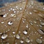 """Oak Leaf Raindrops"" by peasap"