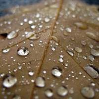 Oak Leaf Raindrops Art Prints & Posters by Paul Sapiano