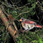 """Night cardinal"" by Photopeb"
