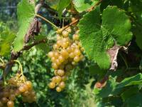 Golden Grapes on the Vine