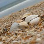 """Shells on Jacksonville Beach"" by imaginativeimagery"