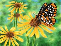 Baltimore Checkerspot & Blackeyed Susan