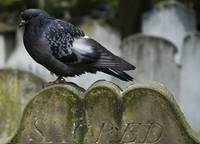 Pigeon on a tombstone