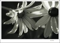 B&W Blackeyed Susan