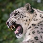 """Mizi - Female Snow Leopard"" by dutts303"