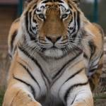 """""""Amur Tiger"""" by dutts303"""